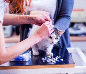 ¿Pueden contraer los gatos Parásitos externos?