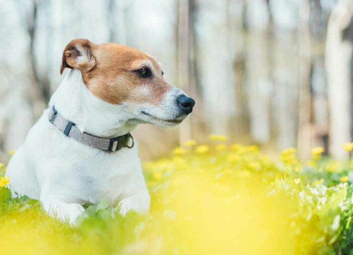 Collares y Pipetas, para evitar enfermedades en tu Perro