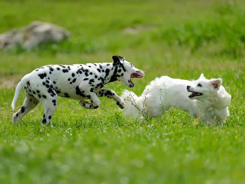 ¿Es bueno tener dos perros en casa? Ventajas y Desventajas