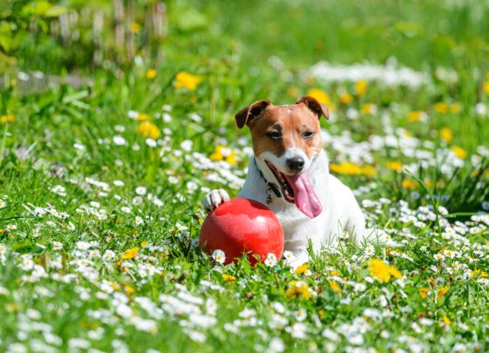 Las espigas y los perros ¿Son peligrosas?
