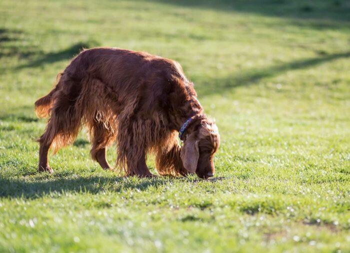 La importancia del olfato en el Perro