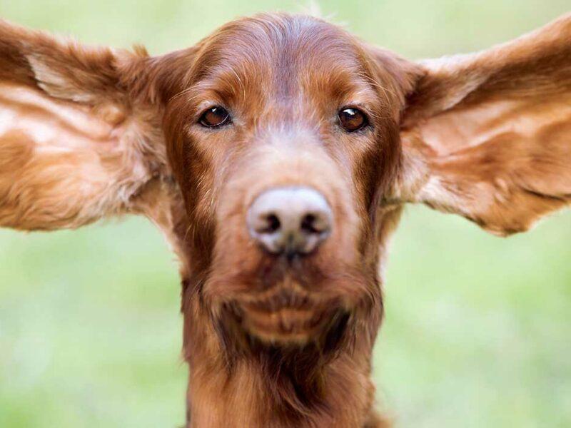 Oído del perro. ¿Cómo saber si está sano?