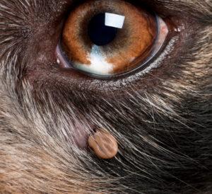 Garrapatas en Perros. Síntomas y Consecuencias