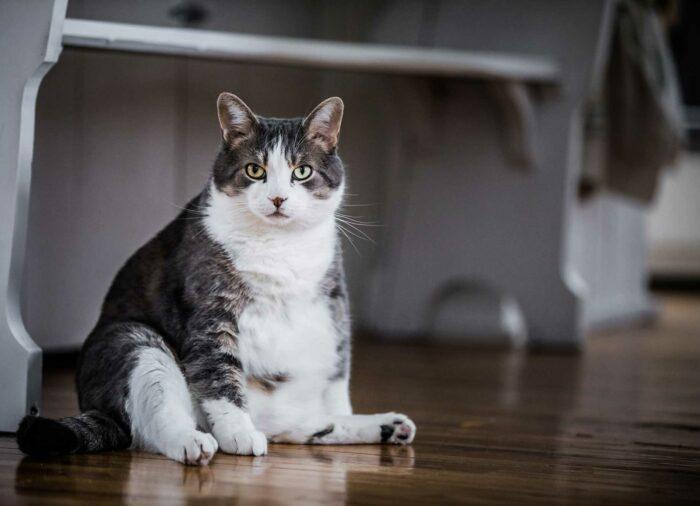 Gato obeso. Mi #gato está gordo.