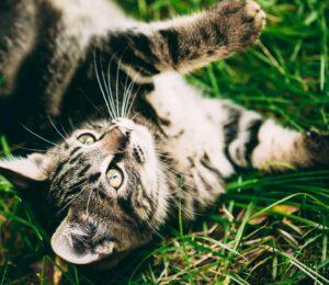 Virus de la Inmunodeficiencia felina. Síntomas.