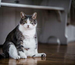 Lipidosis hepática felina ¿Cómo evitarla?