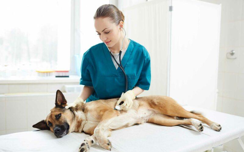 Torsión de Estómago: #perros de Raza Grande