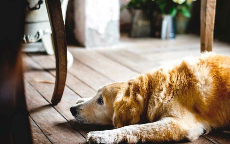 Cauda equina en #Perros. Síntomas
