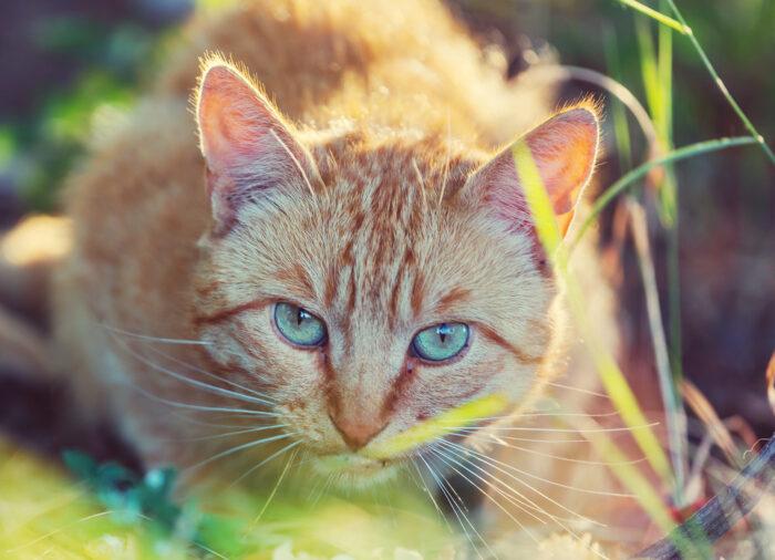 Toxoplasma en #Gatos; riesgos