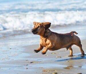 6 Razas de #Perros con más esperanza de vida